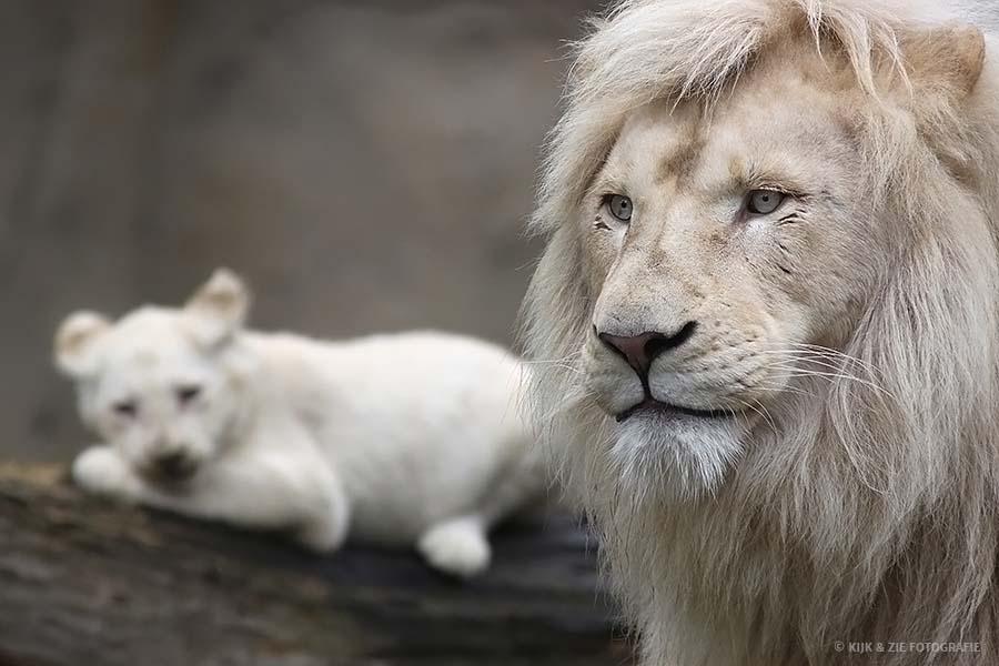 Dierenfotografie wildlife witte leeuw afrikaans