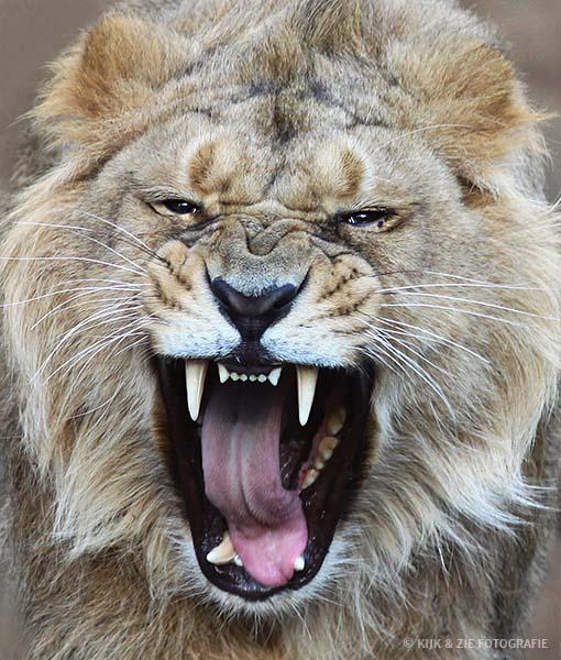 Dierenfotografie wildlife Leeuw