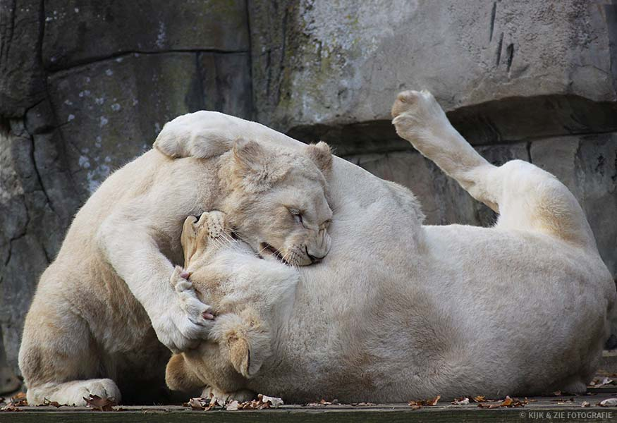 Dierenfotografie wildlife witte leeuw