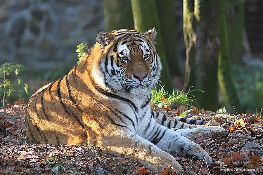 Dierenfotografie wildlife tijger