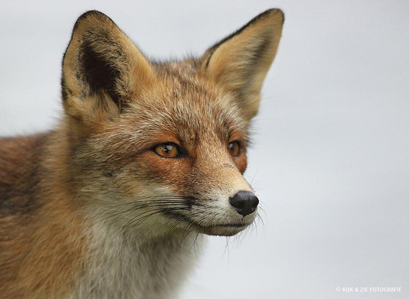 Dierenfotografie wildlife vos
