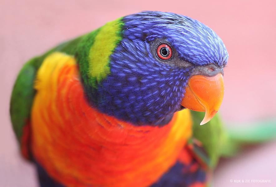Dierenfotografie wildlife Regenbooglori